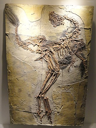 Caudipteryx - Cast of a C. zoui specimen, Houston Museum of Natural Science