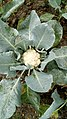 Cauliflower, westbengal.jpg