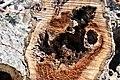 Cavités dans des bûches de peuplier blanc (71).JPG