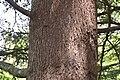Cedrus atlantica 'Glauca' in Eastwoodhill Arboretum.jpg