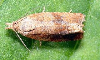 <i>Celypha</i> Genus of tortrix moths