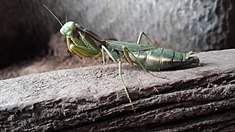 Central Asian Big Mantodea.jpg