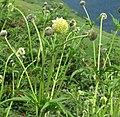 Cephalaria alpina RF.jpg