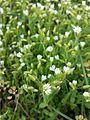 Cerastium pumilum s. str. sl1.jpg