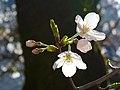 Cerasus x yedoensis - Flickr - odako1 (2L).jpg