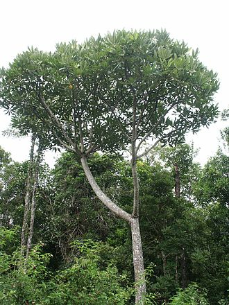 Cerberiopsis - Cerberiopsis candelabra