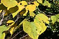 Cercis canadensis Appalachian Red 3zz.jpg