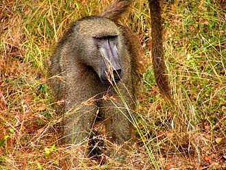 Chacma baboon - A male gray-footed chacma, one of the subspecies of chacma baboon