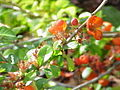 Chaenomeles japonica0.jpg
