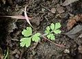 Chaerophyllum temulum kz06.jpg