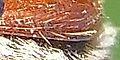 Chaetopteroplia segetum detail.JPG