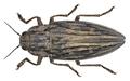 Chalcophora mariana (Linnaeus, 1758) 2.png