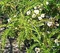Chamaebatia australis 1.jpg