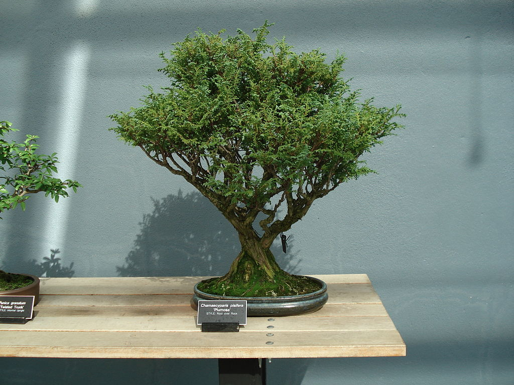 file chamaecyparis pisifera bonsai jpg wikimedia commons. Black Bedroom Furniture Sets. Home Design Ideas