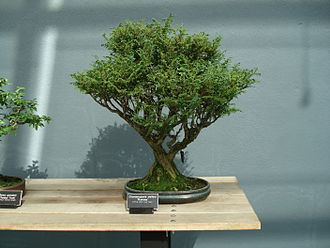 Cypress - Image: Chamaecyparis Pisifera bonsai