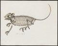 Chamaeleo spec. - skelet - 1700-1880 - Print - Iconographia Zoologica - Special Collections University of Amsterdam - UBA01 IZ12300045.tif