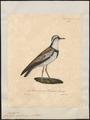 Charadrius nigrifrons - 1825-1834 - Print - Iconographia Zoologica - Special Collections University of Amsterdam - UBA01 IZ17200233.tif