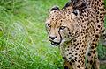 Cheetah (21594483626).jpg