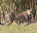 Cheetah 2 (3309038105).jpg
