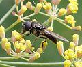 Chelosia species possibly bergenstammi. - Flickr - gailhampshire.jpg