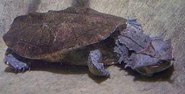 Зміїношийні черепахи
