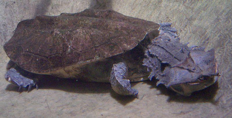 Mata mata (Chelus fimbriatus)