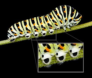 Lepidoptera - Caterpillar prolegs on Papilio machaon