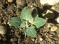 Chenopodium opulifolium sl88.jpg