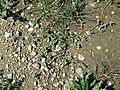 Chenopodium vulvaria sl124.jpg