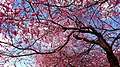 Cherry Blossom - Flickr - blondinrikard.jpg