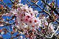 Cherry blossoms Lake Balboa (20140330-0151).JPG