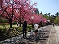 Cherry blossoms in Hirosaki castle park - panoramio.jpg