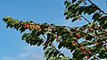 Cherry tree moving in the wind 7.jpg
