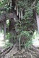 Chiba-dera Temple Ginkgo Tree, Planted 709 AD (30040988435).jpg