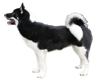 Greenland Dog - Greenland dog.