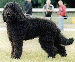 image illustrative de l'article Barbet (chien)
