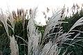 Chinaschilf (Miscanthus sinensis) Blumengärten Hirschstetten Wien 2014 a.jpg