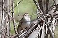Chipping Sparrow (adult winter) San Pedro House Sierra Vista AZ 2014-03-19at13-07-334 (40841353563).jpg