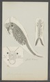 Chirocephalus diaphanus - - Print - Iconographia Zoologica - Special Collections University of Amsterdam - UBAINV0274 099 02 0005.tif