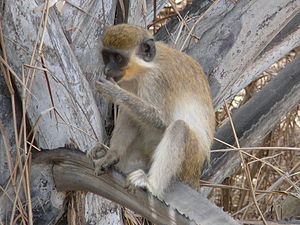 Green monkey - Adult