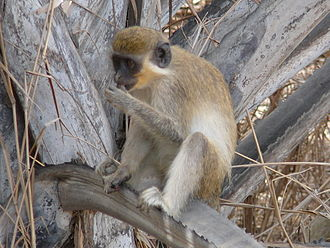 Green monkey - Adult