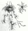 Chlorophytum comosum.png