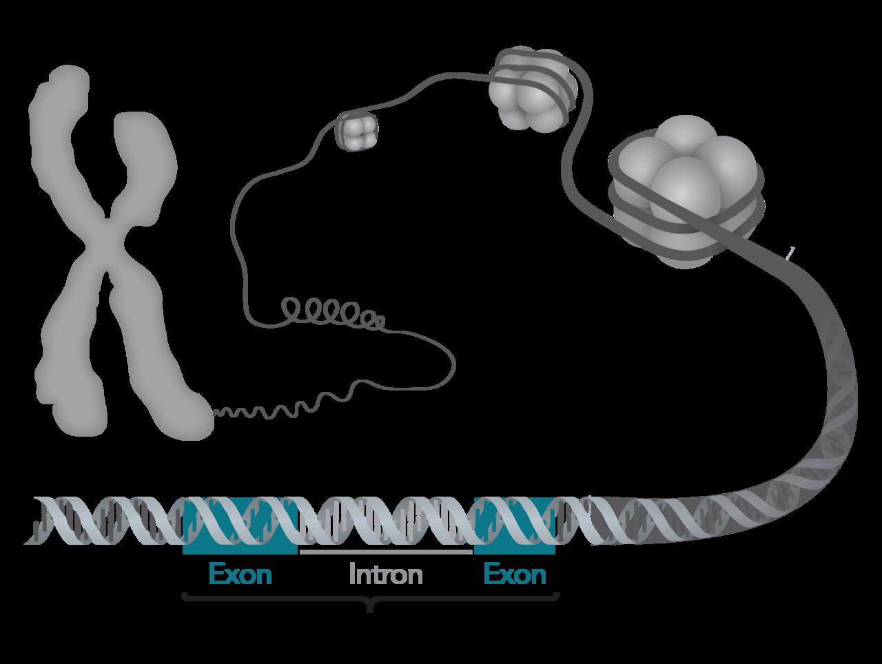 1280px-Chromosom-DNA-Gen.png