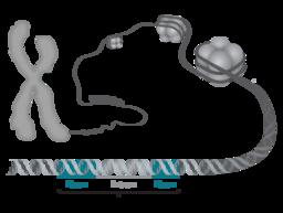 Chromosom-DNA-Gen