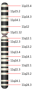 Chromosome 11.svg