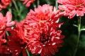 Chrysanthemum Savona 0zz.jpg