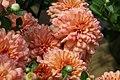 Chrysanthemum x grandiflorum Blushing Emily 2zz.jpg