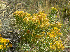 240px chrysothamnus viscidiflorus ssp viscidiflorus 1