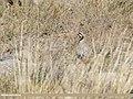 Chukar Partridge (Alectoris chukar) (31634643457).jpg