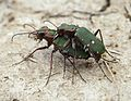 Cicindela campestris couple.JPG